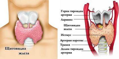 Щитовидната жлеза – важна за метаболизма и …